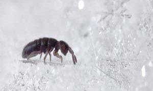 Опасна ли снежная блоха: особенности питания и образа жизни