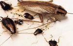Все о домашних тараканах