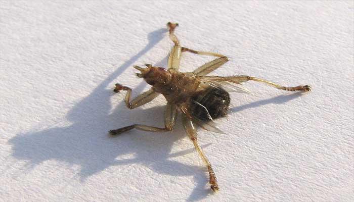Гроза животного мира - лосиная муха