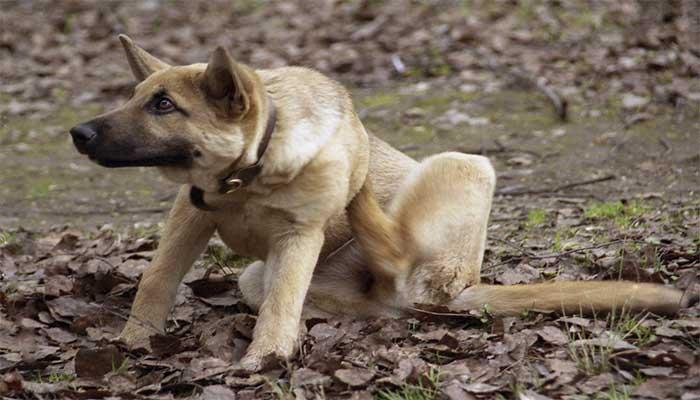 Симптомы блох у собак