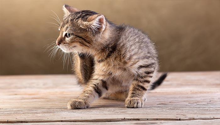 Симптомы блох у домашнего кота