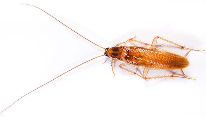 Неудачные попытки борьбы с тараканами могут привести к увеличению популяции