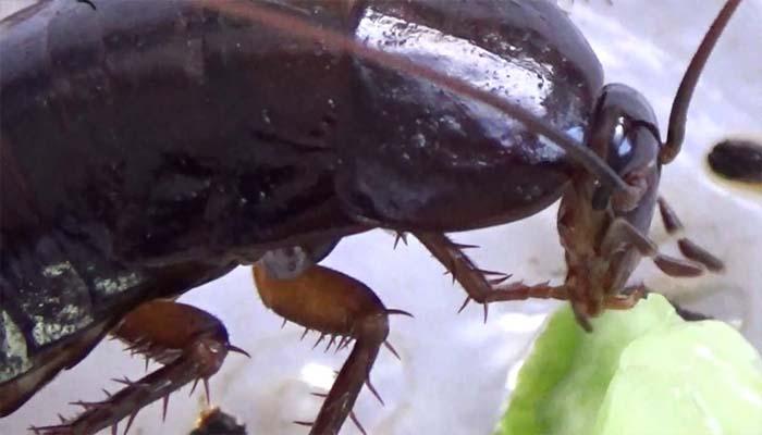 Оголодавшие тараканы могут кусать человека