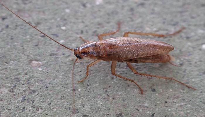 Рыжий таракан - самый распространенный вид домашних тараканов