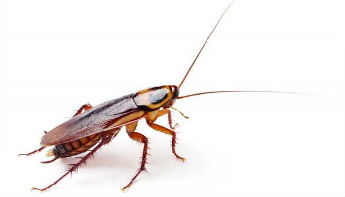 Тараканы переносят отраву на своих лапках и заражают сородичей