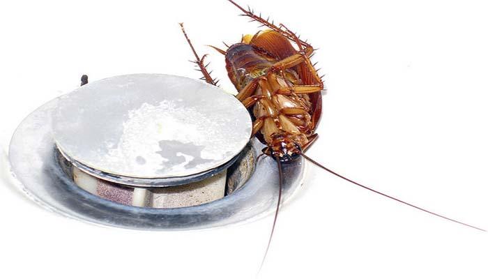 Таракан неделю может жить без воды