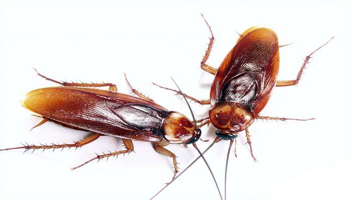 При появлении тараканов необходимо производить немедленную обработку помещений