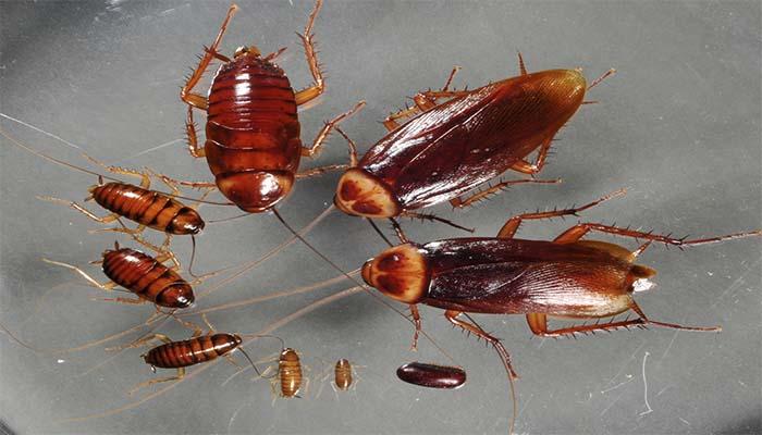 Размножение тараканов