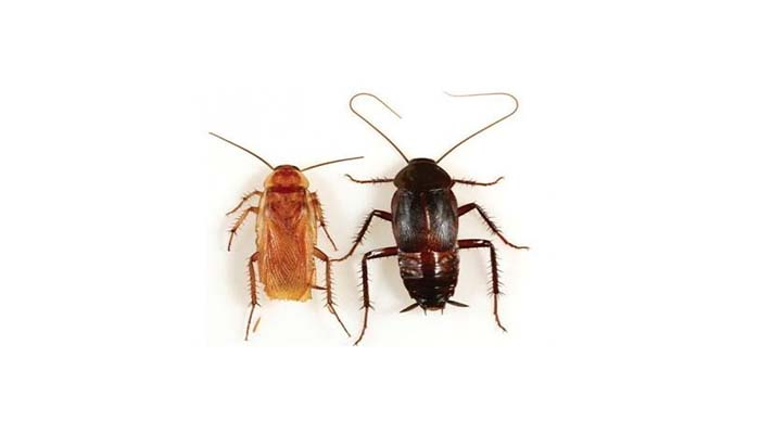 Различия черного и рыжего тараканов