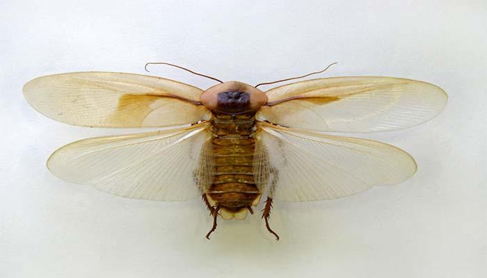 Самый большой размах крыльев у таракана под названием Megaloblatta longipennis