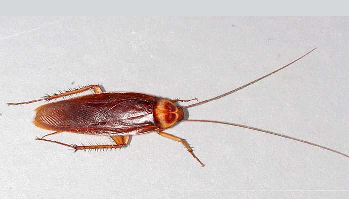 Продолжительность жизни рыжих тараканов 9 – 12 месяцев