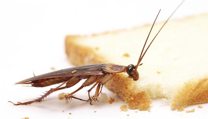Таракан есть булку
