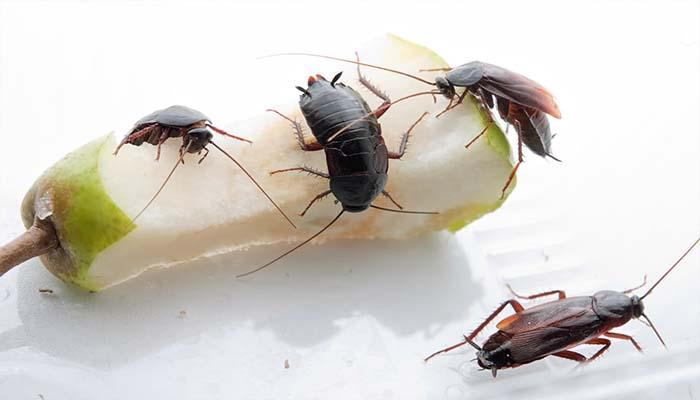 Тараканы едят грушу