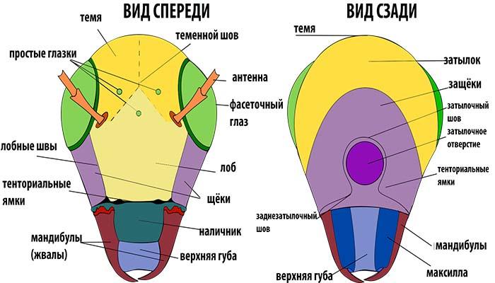 Строение головы таракана