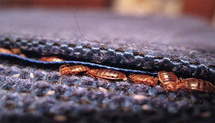 Ковровое покрытие становится отличным пристанищем для тараканов