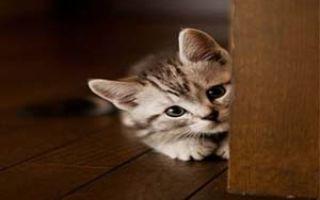 Как быстро избавиться от блох у котенка