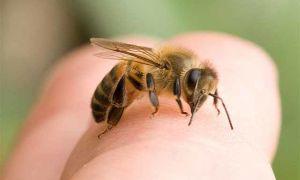 Способы снять отек после укуса пчелы, полезные советы