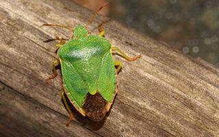 Жизнь лесного клопа и вред от него