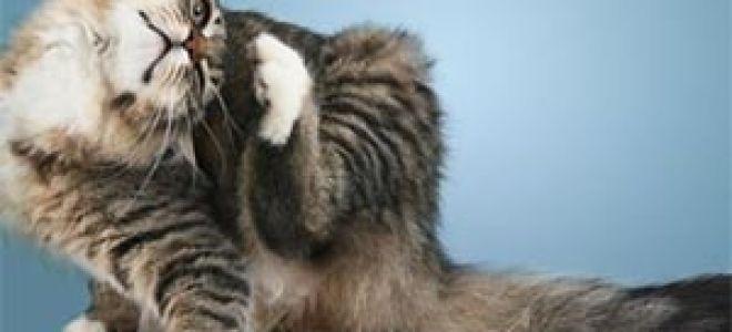 Кошачьи блохи кусают людей: правда или вымысел