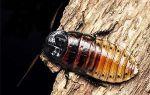 Содержание дома мадагаскарского таракана